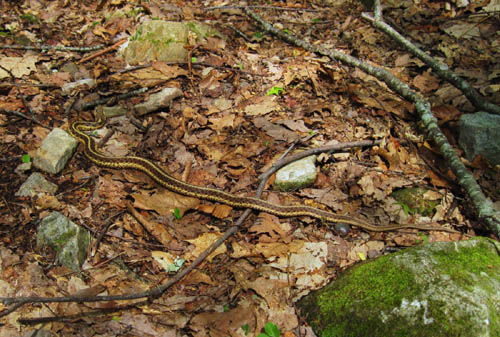 Brown and Yellow Mountain Snake